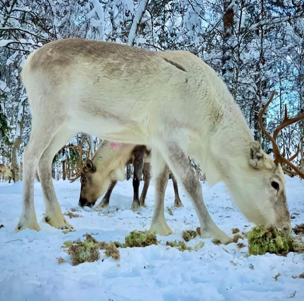 Schneemobil Reise Lappland Perfect Tours (24)